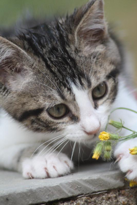 Chaton s'entant une fleur