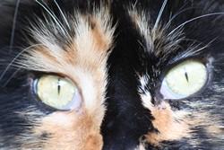 Soin des yeux du chat