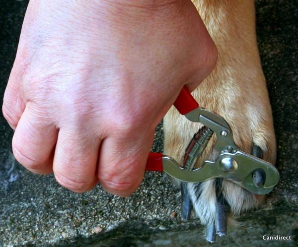 Comme nos ongles, les griffes contiennent une matrice (avec système nerveux et veineux) qu'il faut éviter d'entailler